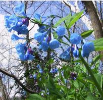 Audubon Naturalist Society - Bluebells and Budbreak at Boundary Bridge - Summer Solstice